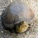 Tortuga Pecho Quebrado Mexicana - Photo (c) Francisco Farriols Sarabia, algunos derechos reservados (CC BY)