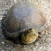 Mexican Mud Turtle - Photo (c) Francisco Farriols Sarabia, some rights reserved (CC BY)