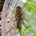 Perloidea - Photo (c) Bob Henricks, μερικά δικαιώματα διατηρούνται (CC BY-NC)
