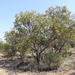 Cattle Bush - Photo (c) Wayne Martin, some rights reserved (CC BY-NC)