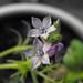 Gilia nevinii - Photo Stickpen, לא ידועות מגבלות של זכויות יוצרים  (נחלת הכלל)
