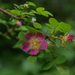 Baldhip Rose - Photo (c) Doug Murphy, some rights reserved (CC BY-SA)