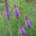 Liatris punctata - Photo (c) kenttrulsson, algunos derechos reservados (CC BY-NC)