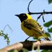 Ploceus pelzelni - Photo (c) David Cook Wildlife Photography, μερικά δικαιώματα διατηρούνται (CC BY-NC)