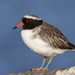 Thinornis novaeseelandiae - Photo (c) Oscar Thomas, μερικά δικαιώματα διατηρούνται (CC BY-NC-ND)