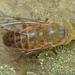 Atylotus - Photo (c) Valter Jacinto, μερικά δικαιώματα διατηρούνται (CC BY-NC-SA)