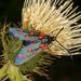 Zygaena transalpina - Photo (c) Drepanostoma,  זכויות יוצרים חלקיות (CC BY-NC)