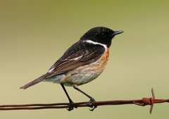 European Stonechat - Photo (c) Blake Matheson, some rights reserved (CC BY-NC)
