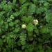 Leptinella squalida squalida - Photo no rights reserved