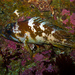 Sebastes carnatus - Photo (c) Ken-ichi Ueda, alguns direitos reservados (CC BY-NC-SA)
