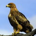 Tawny Eagle - Photo (c) Arno Meintjes, some rights reserved (CC BY-NC)