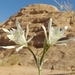 Pancratium sickenbergeri - Photo (c) Khaled abu rabea, algunos derechos reservados (CC BY-NC-SA)