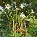 Millingtonia hortensis - Photo (c) CheongWeei Gan, algunos derechos reservados (CC BY-NC)