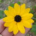 Sandhill Sunflower - Photo (c) Sam Kieschnick, some rights reserved (CC BY)