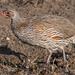 Pternistis rufopictus - Photo (c) Yathin S Krishnappa, alguns direitos reservados (CC BY-SA)