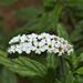 Heliotropium steudneri - Photo (c) Bernard DUPONT, alguns direitos reservados (CC BY-SA)