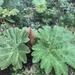 Gunnera manicata - Photo (c) Mauricio Uhle, μερικά δικαιώματα διατηρούνται (CC BY-NC)