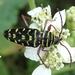 Placosternus difficilis - Photo (c) Russell Pfau,  זכויות יוצרים חלקיות (CC BY-NC)