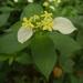 Pseudomussaenda flava - Photo (c) mezzty, algunos derechos reservados (CC BY-NC)