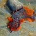 Triopha maculata - Photo (c) Donna Pomeroy, μερικά δικαιώματα διατηρούνται (CC BY-NC)