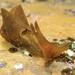 Aplysia juliana - Photo (c) John Turnbull, alguns direitos reservados (CC BY-NC-SA), uploaded by Marine Explorer (John Turnbull)