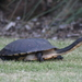 Common Snake-necked Turtle - Photo (c) Joel Poyitt, some rights reserved (CC BY-NC)