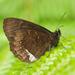 Pedaliodes phazania - Photo (c) Roger Rittmaster, algunos derechos reservados (CC BY-NC)