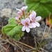 Austral Stork's-Bill - Photo no rights reserved