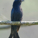 Square-tailed Drongo-Cuckoo - Photo (c) Vijay Anand Ismavel, some rights reserved (CC BY-NC-SA), uploaded by Dr. Vijay Anand Ismavel MS MCh