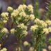 Richea sprengelioides - Photo (c) jcorrie, μερικά δικαιώματα διατηρούνται (CC BY-NC)