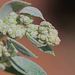 Chenopodium incanum - Photo (c) Jerry Oldenettel, μερικά δικαιώματα διατηρούνται (CC BY-NC-SA)