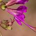 Mirabilis coccinea - Photo Sem direitos reservados