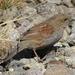 Prunella rubida - Photo (c) Alpsdake, algunos derechos reservados (CC BY-SA)