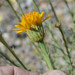 Cooper's Dogweed - Photo (c) Don Davis, some rights reserved (CC BY-NC-ND)