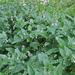 Mertensia arizonica - Photo (c) ellen hildebrandt, algunos derechos reservados (CC BY-NC)
