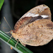 Dynastor darius stygianus - Photo (c) Cheryl Harleston López Espino, algunos derechos reservados (CC BY-NC-ND)