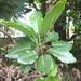 Puka de Nueva Zelanda - Photo (c) ryvesie, algunos derechos reservados (CC BY-NC)