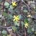Corokia cotoneaster - Photo (c) gailtv, algunos derechos reservados (CC BY-NC)