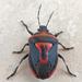Perillus bioculatus - Photo (c) katunchik, algunos derechos reservados (CC BY)