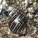 Nucella ostrina - Photo (c) Aaron Liston, algunos derechos reservados (CC BY)