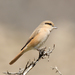 Isabelline Shrike - Photo (c) Imran Shah, some rights reserved (CC BY-SA)