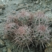 Cottontop Cactus - Photo (c) stephenhodges, some rights reserved (CC BY-NC), uploaded by Stephen Hodges