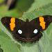 Adelpha leucophthalma - Photo (c) Roger Rittmaster, algunos derechos reservados (CC BY-NC)