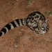 Cape Genet - Photo (c) Joan Kleynhans, some rights reserved (CC BY-NC)