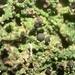 Mycobilimbia berengeriana - Photo (c) Tomás Curtis, algunos derechos reservados (CC BY-NC)