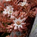 Sedum hispanicum - Photo (c) leposava, μερικά δικαιώματα διατηρούνται (CC BY-NC)
