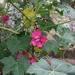 Malva assurgentiflora - Photo (c) David  Eickhoff, algunos derechos reservados (CC BY-NC-SA)