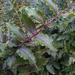 Coriaria kingiana - Photo no rights reserved