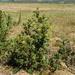 Berkheya carlinifolia - Photo (c) Robert McKenzie, some rights reserved (CC BY-NC)