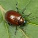 Knotgrass Leaf Beetle - Photo (c) Nikolai Vladimirov, some rights reserved (CC BY-NC)
